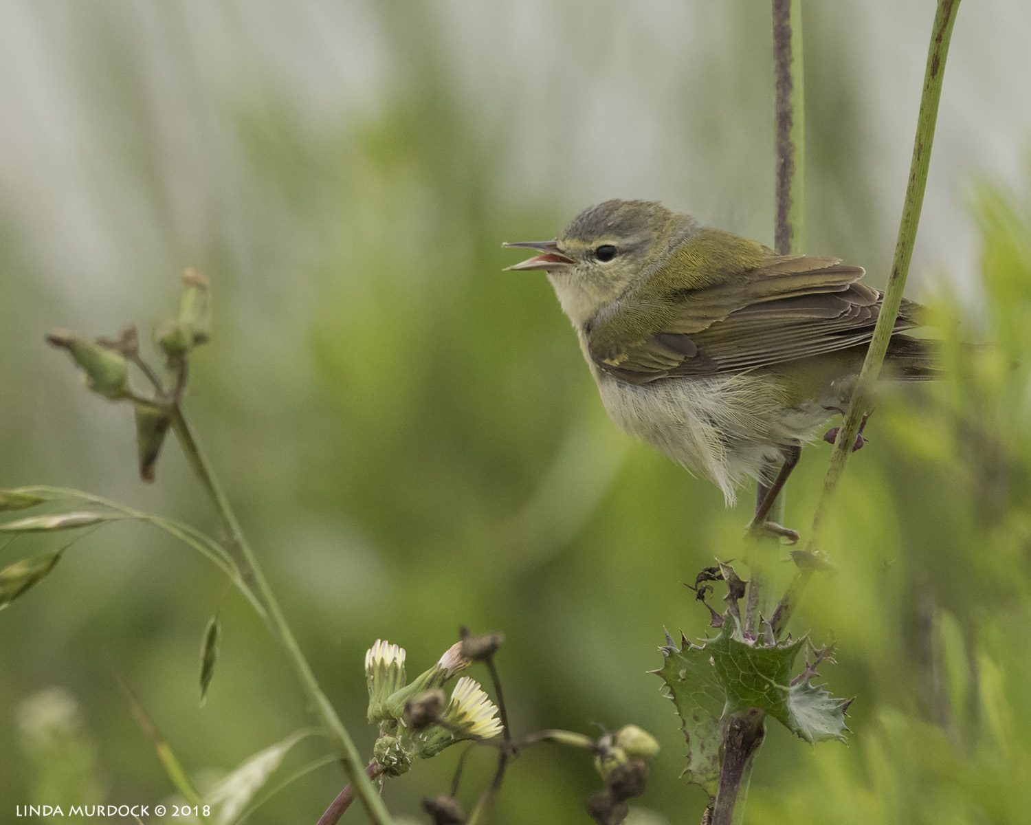 Another Tennessee Warbler but out in the open  Nikon D810 with NIKKOR 500mm f/4E VR + Nikon 1.4x TC ~ 1/2000   sec f/6.3 ISO 1600; tripod