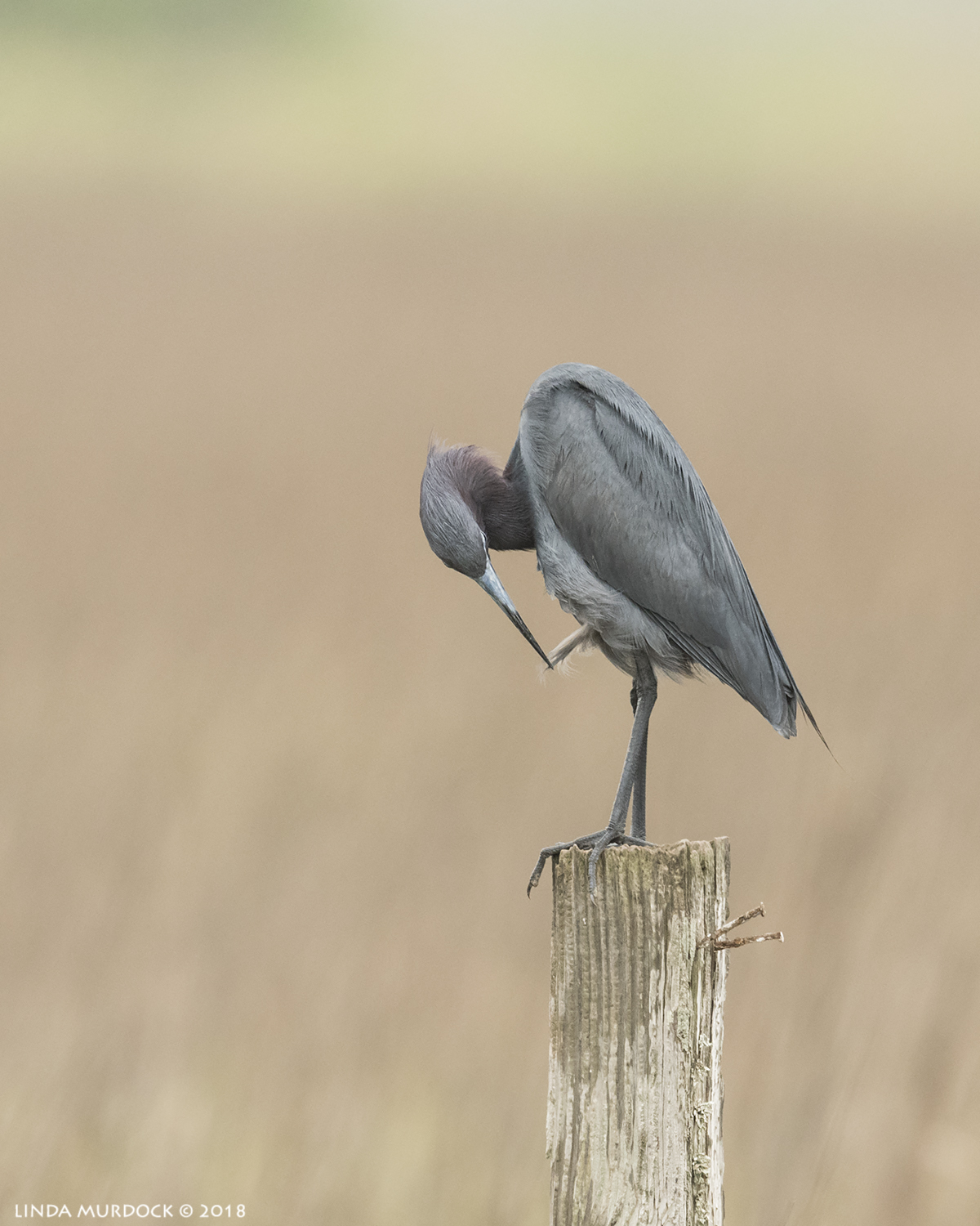 Little Blue Heron preening on a fence post at 700mm Nikon D810 with NIKKOR 500mm f/4E VR + Nikon 1.4x TC ~ 1/2000  sec f/7.1 ISO 1600; braced in window