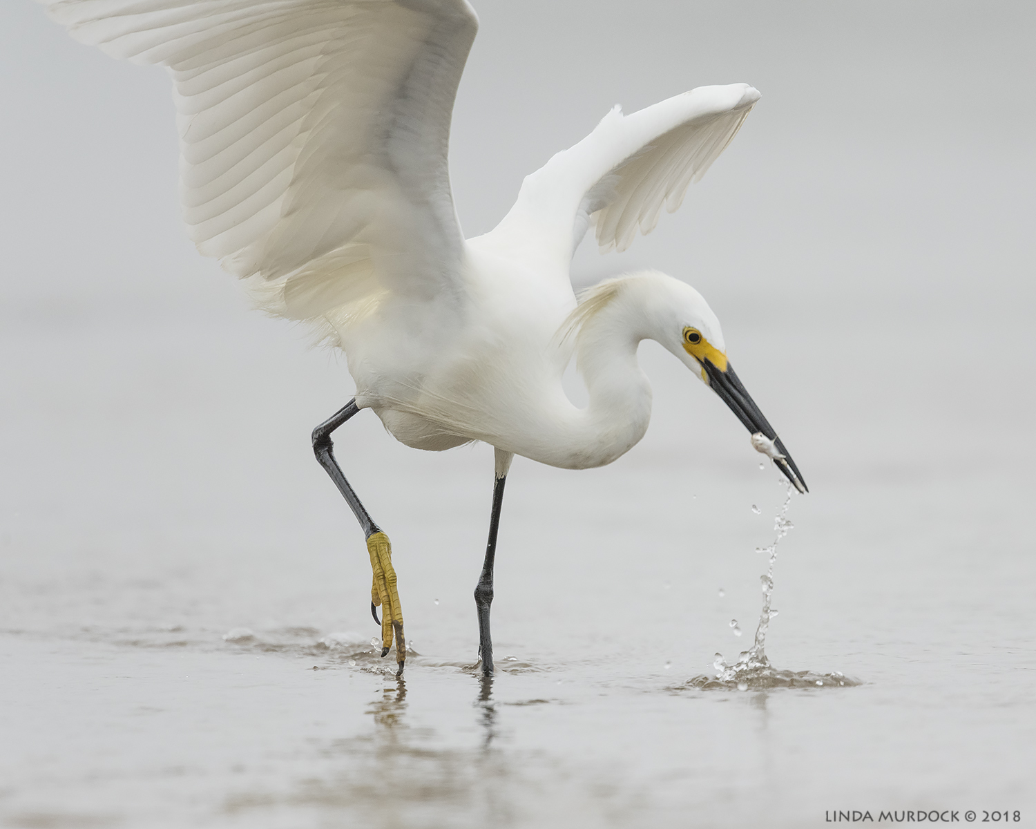 Snowy Egret who must have been hanging out with a Reddish  Nikon D810 with NIKKOR 500mm f/4E VR + Nikon 1.7x TC ~ 1/2000  sec f/7.1 ISO 2000; tripod sitting in the mud