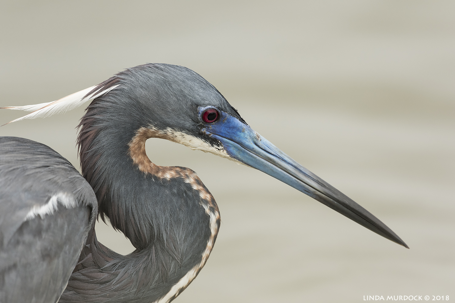 Portrait of Tricolored Heron with breeding colors Nikon D810 with NIKKOR 500mm f/4E VR + Nikon 1.7x TC ~ 1/2000  sec f/7.1 ISO 1250; braced in window
