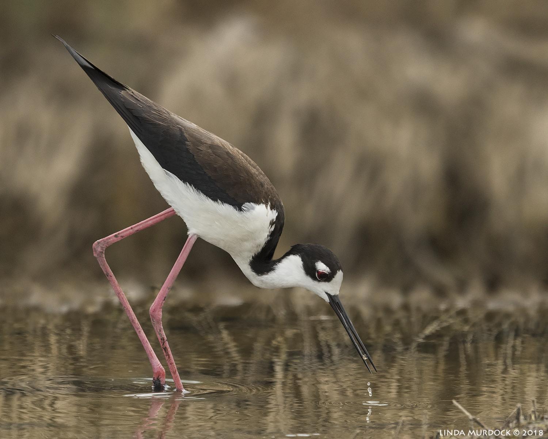 Black-necked Stilt at Surfside