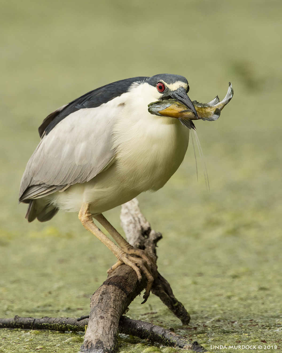 Black-crowned Night Heron with fish - Brazos Bend State Park