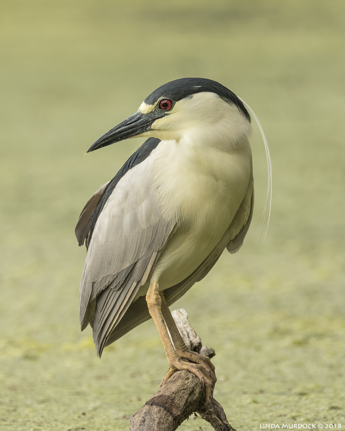Black-crowned Night Heron showing off   Nikon D810 with NIKKOR 500mm f/4E VR + Nikon 1.7x TC ~ 1/1000   sec f/8.0 ISO 1000; tripod