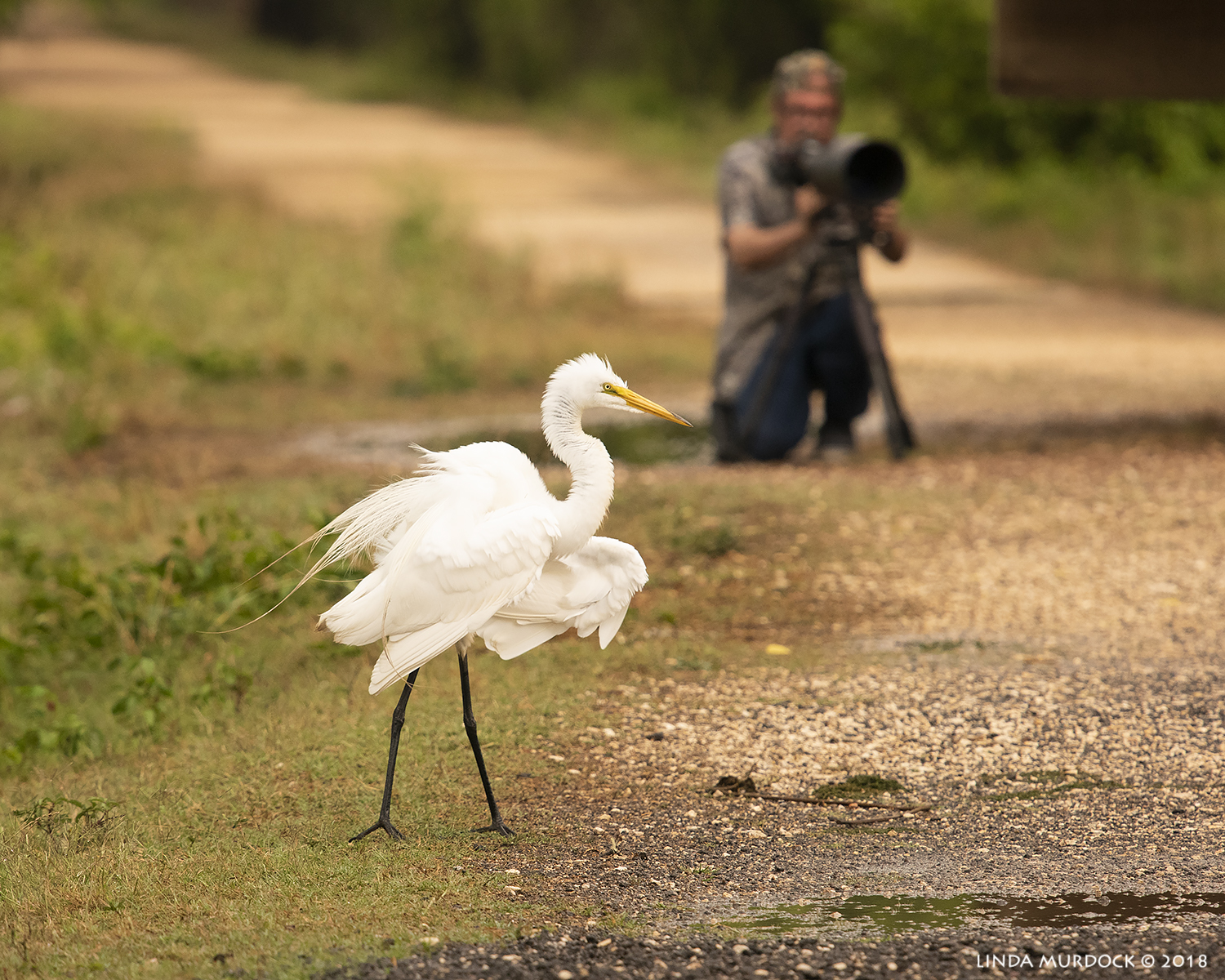 Bill and a Great Egret next to the Observation Tower   Nikon D810 with NIKKOR 300mm f/4E PF + Nikon 1.4x TC ~ 1/1250   sec f/7.1 ISO 1600; hand-held