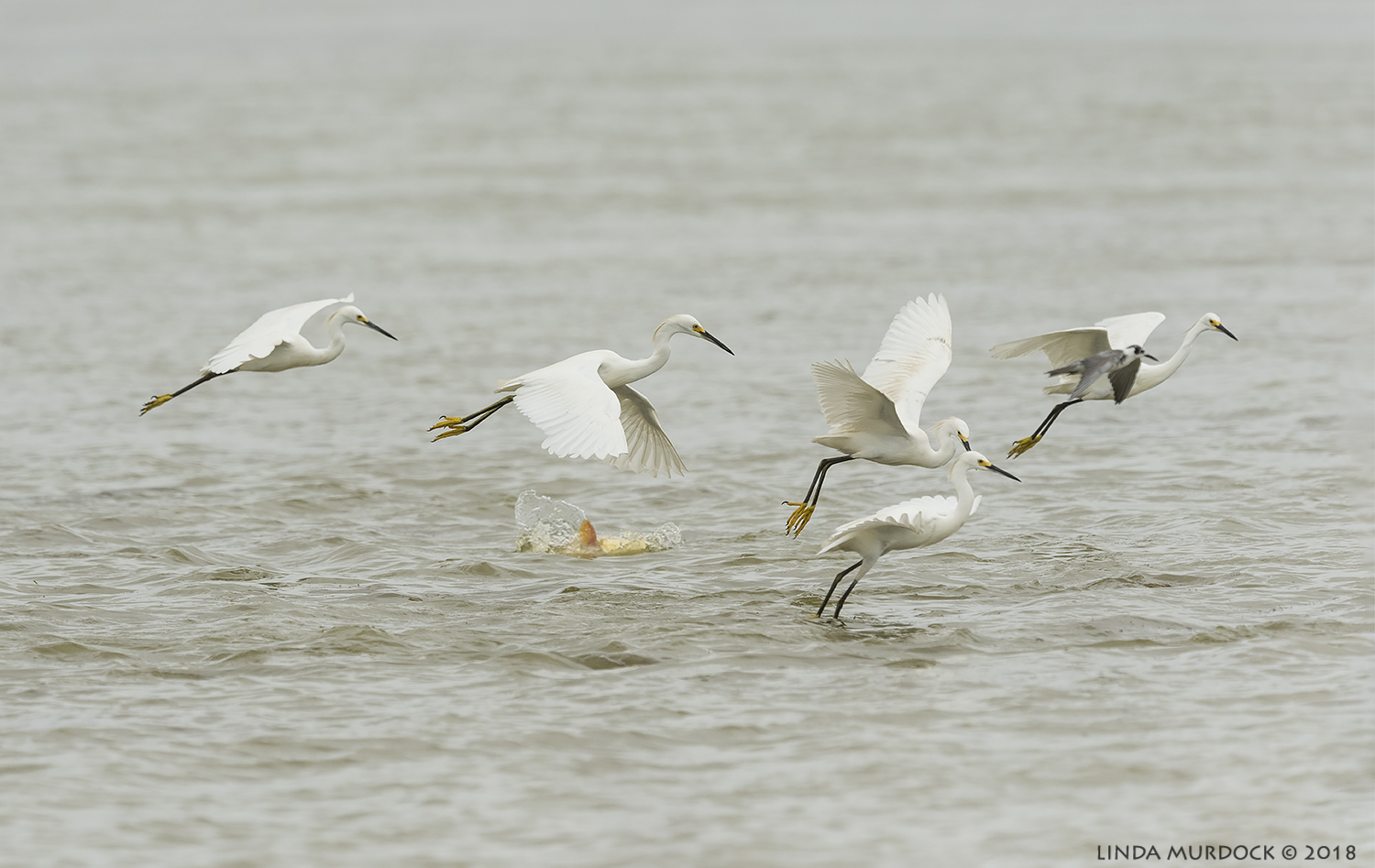 Snowy Egrets collectively fishing... Nikon D810 with NIKKOR 500mm f/4E VR + Nikon 1.4x TC ~ 1/2000 sec f/8.0 ISO 640; braced in truck window