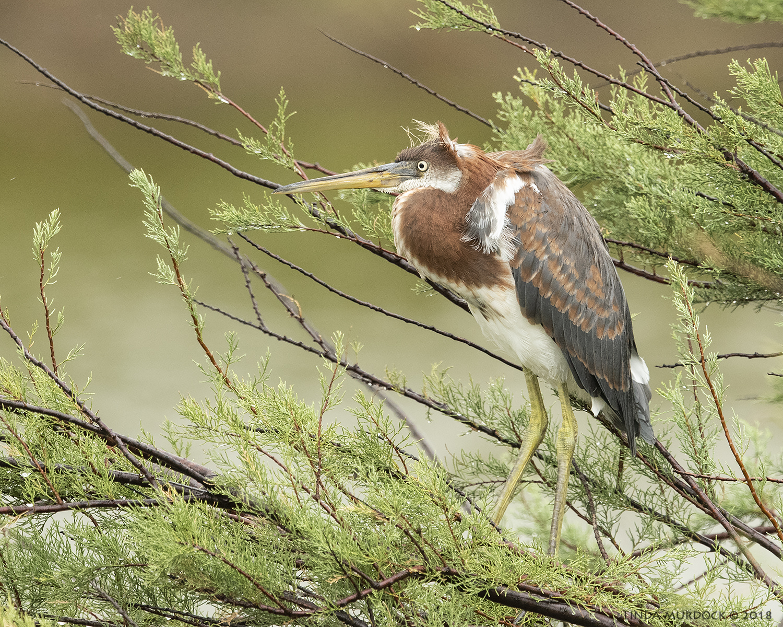 Juvenile Tricolored Heron     near nest...   Nikon D810 with NIKKOR 500mm f/4E VR + Nikon 1.4x TC ~ 1/1600 sec f/6.3 ISO 2000; braced in truck window