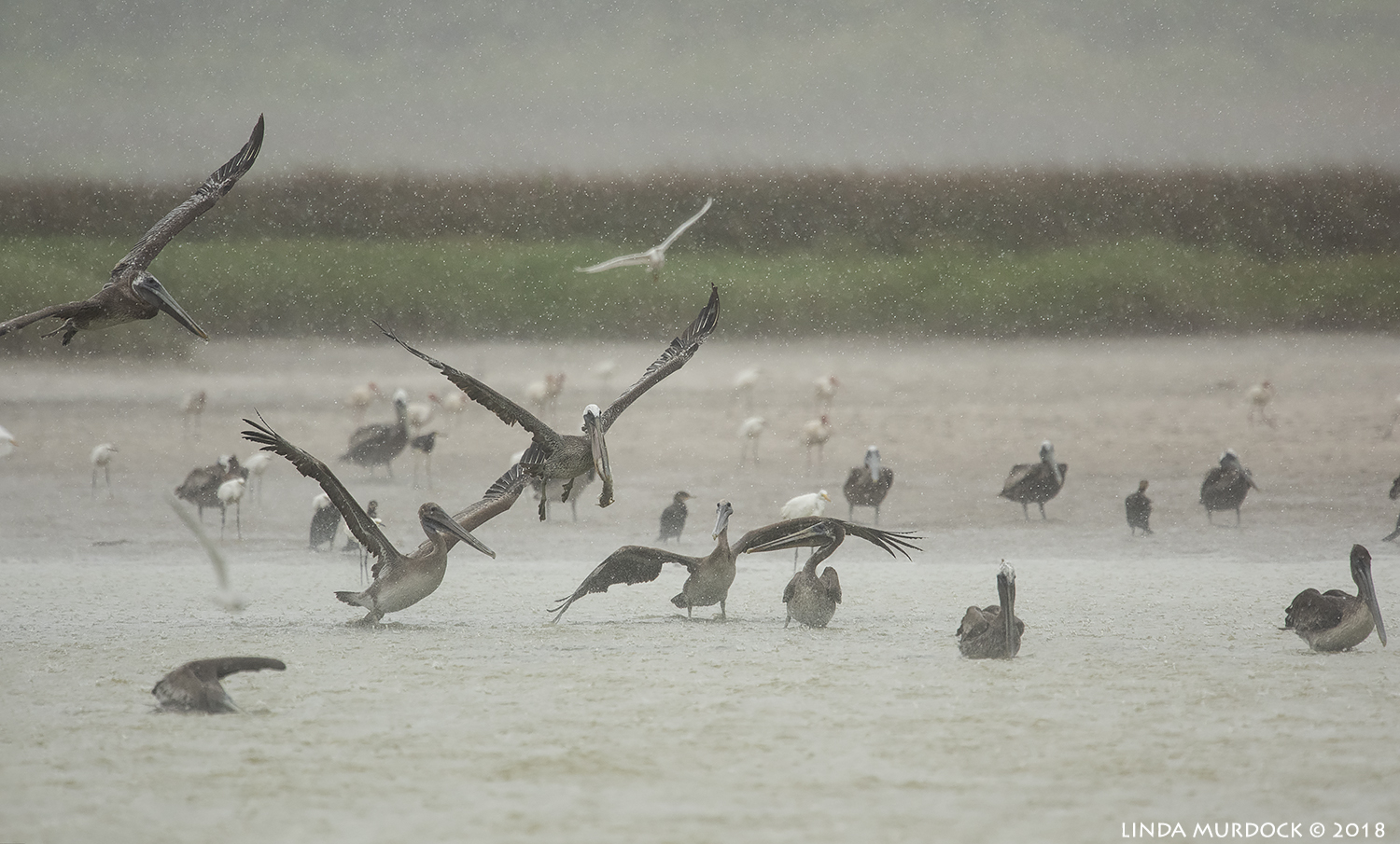 Brown Pelicans having a party Nikon D810 with NIKKOR 500mm f/4E VR + Nikon 1.7x TC ~ 1/2000 sec f/6.7 ISO 1600; braced in passenger window
