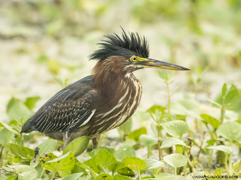 Beautiful bird…  Nikon D810 with NIKKOR 500mm f/4E VR + Nikon 1.7x TC ~ 1/1000 sec f/7.1 ISO 3200; tripod