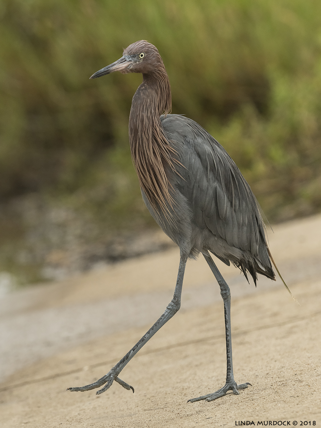 Reddish Egret strutting around…  Nikon D850 with NIKKOR 500mm f/4E VR ~ 1/2000 sec f/7.1 ISO 1600; hand-held