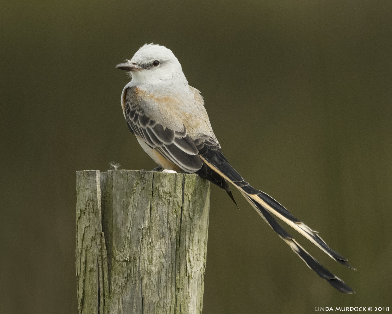Scissor-tailed Flycatcher  Nikon D850 with NIKKOR 500mm f/4E VR with 1.4x TC ~ 1/2000 sec f/9.0 ISO 1000; braced on truck