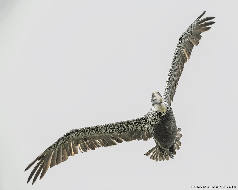 Brown Pelican saying Hai!  Nikon D850 with NIKKOR 300mm f/4E PF ED VR with 1.4x TC~ 1/2000 sec f/7.1 ISO 1000; hand-held