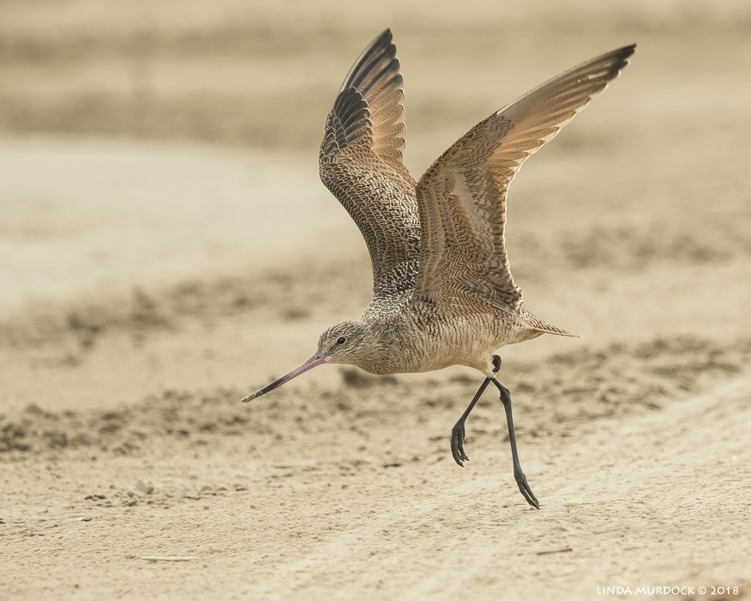 Marbled Godwit almost airborne…    Nikon D850 with NIKKOR 500mm f/4E VR with 1.4x TC ~ 1/2000 sec f/7.1 ISO 1000; braced on truck
