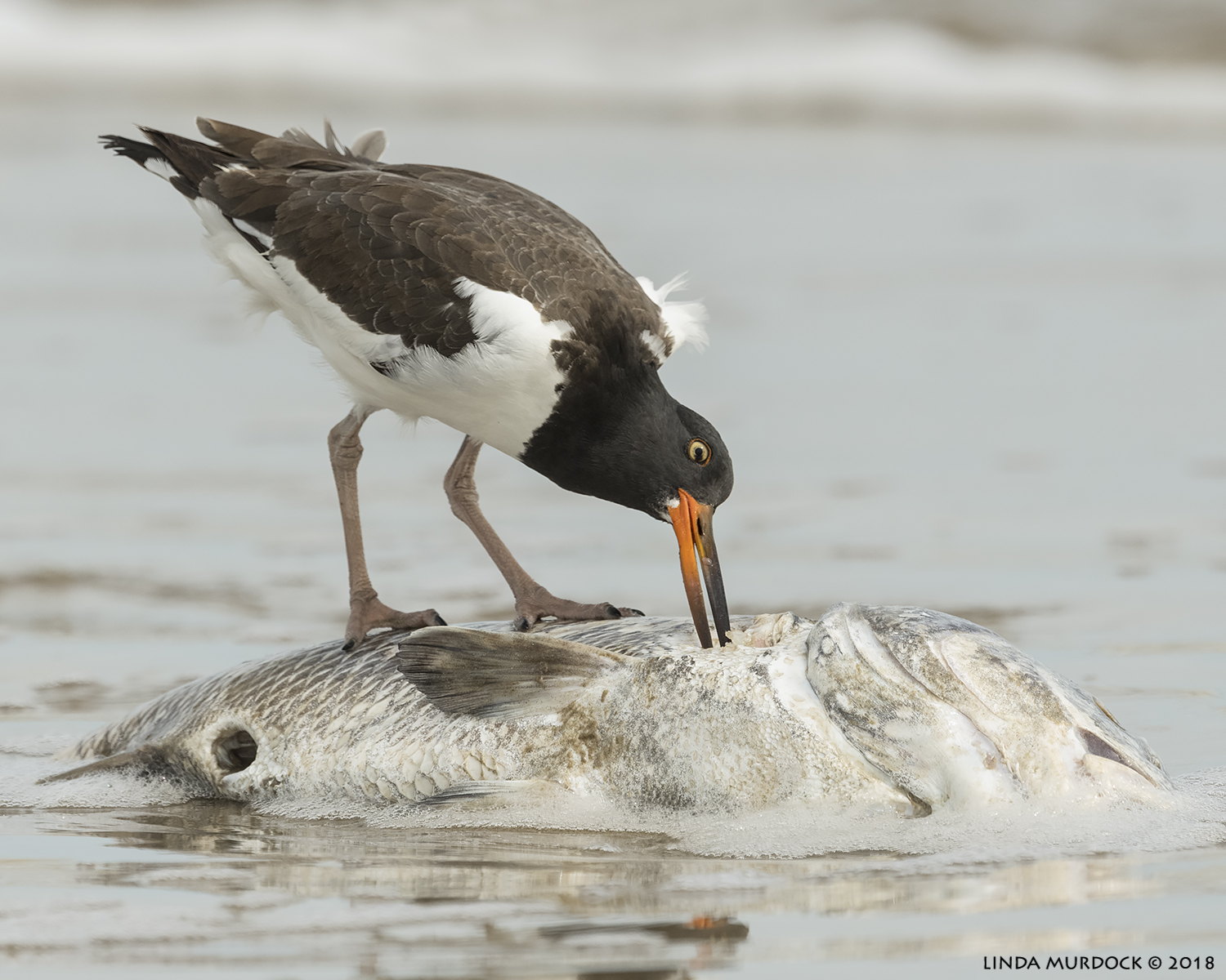 Young Oystercatcher with a giant meal    Nikon D850 with NIKKOR 500mm f/4E VR with 1.4x TC ~ 1/2000 sec f/7.1 ISO 1000; out passenger window