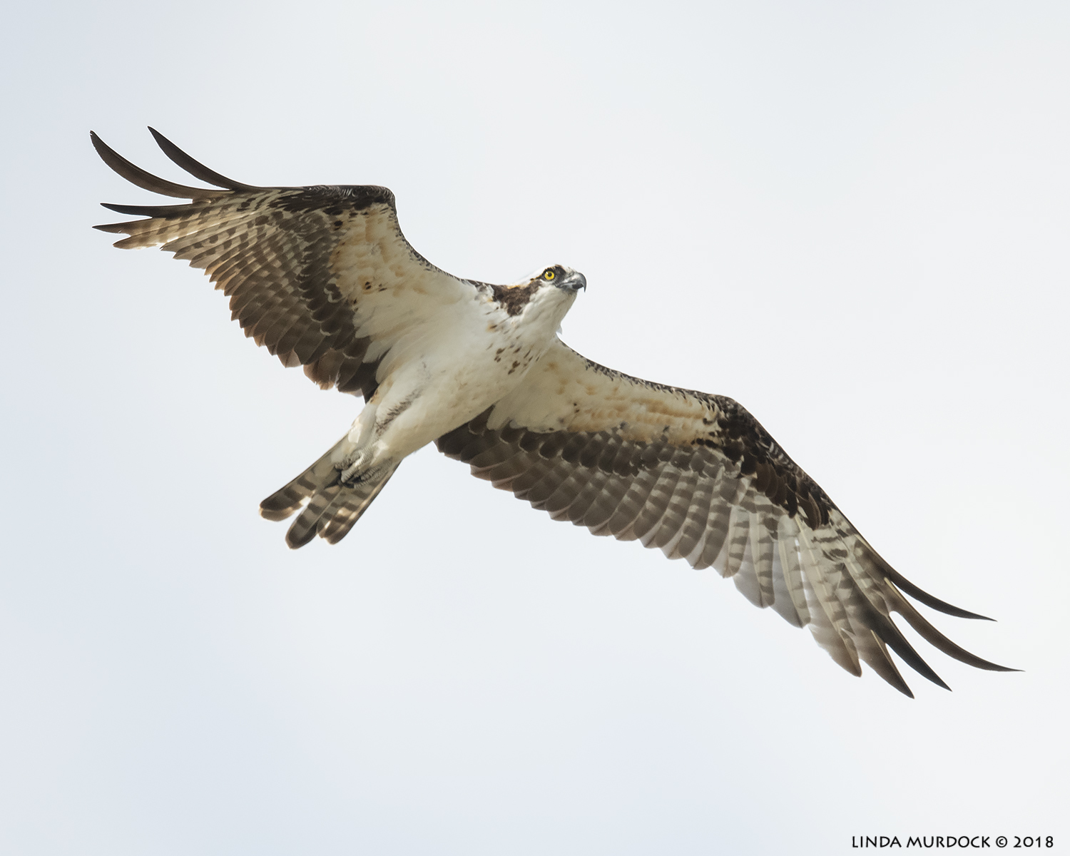Osprey soars over my head  Nikon D850 with NIKKOR 500mm f/4E VR with Nikon 1.4x TC ~ 1/2500 sec f/5.6 ISO 1000; hand-held