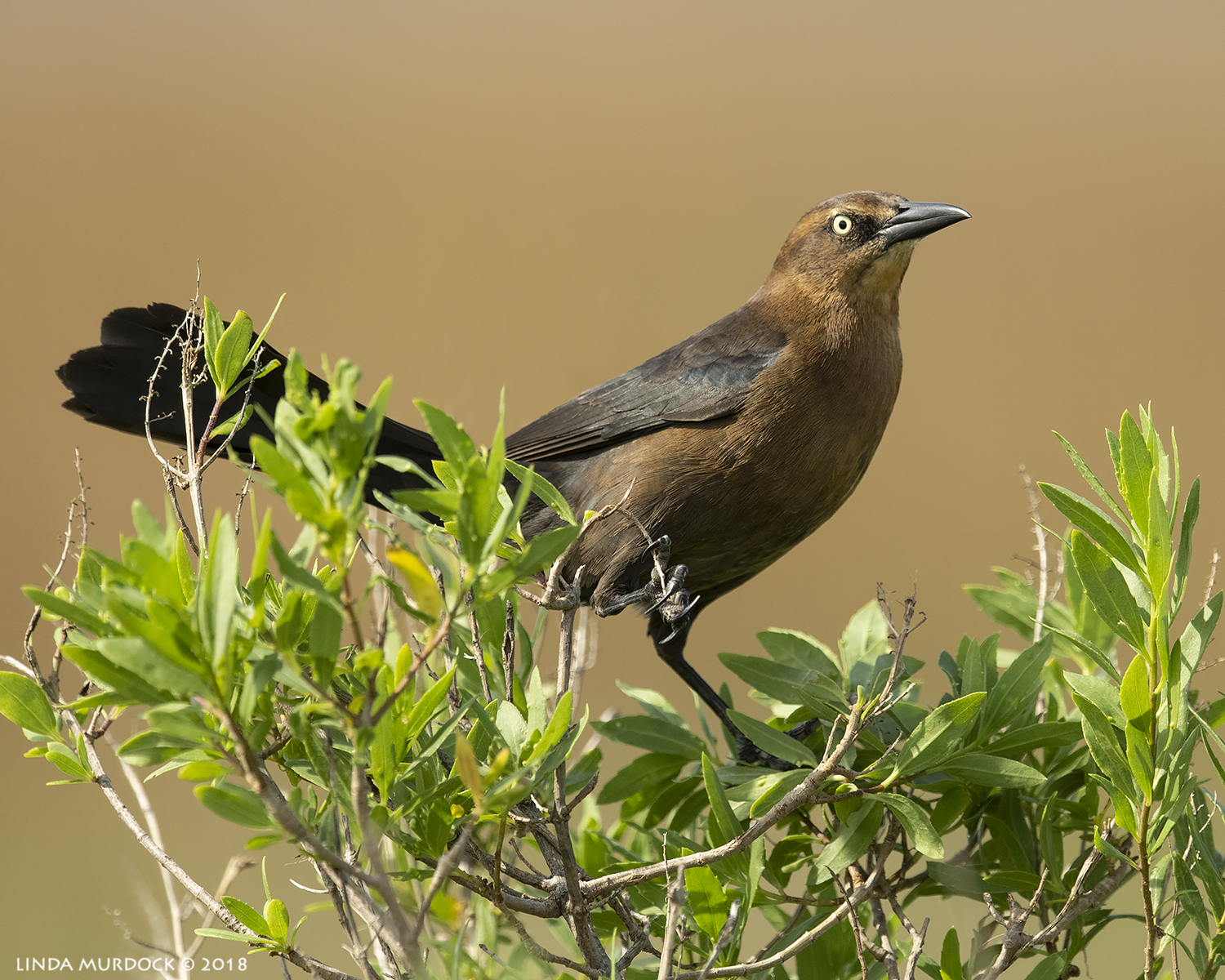 Female Grackle with single-spot focus since the foreground is busy.  Nikon D850 with NIKKOR 500mm f/4E VR with Nikon 1.4x TC ~ 1/2500 sec f/6.3 ISO 1000; braced in truck window
