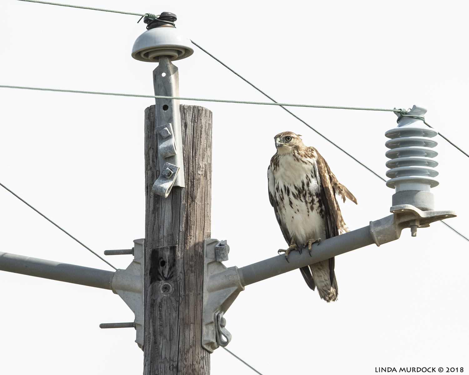 Red-tailed Hawk pretending to be an insulator  Nikon D850 with NIKKOR 500mm f/4E VR with Nikon 1.4x TC ~ 1/2500 sec f/6.3 ISO 1250; braced against truck