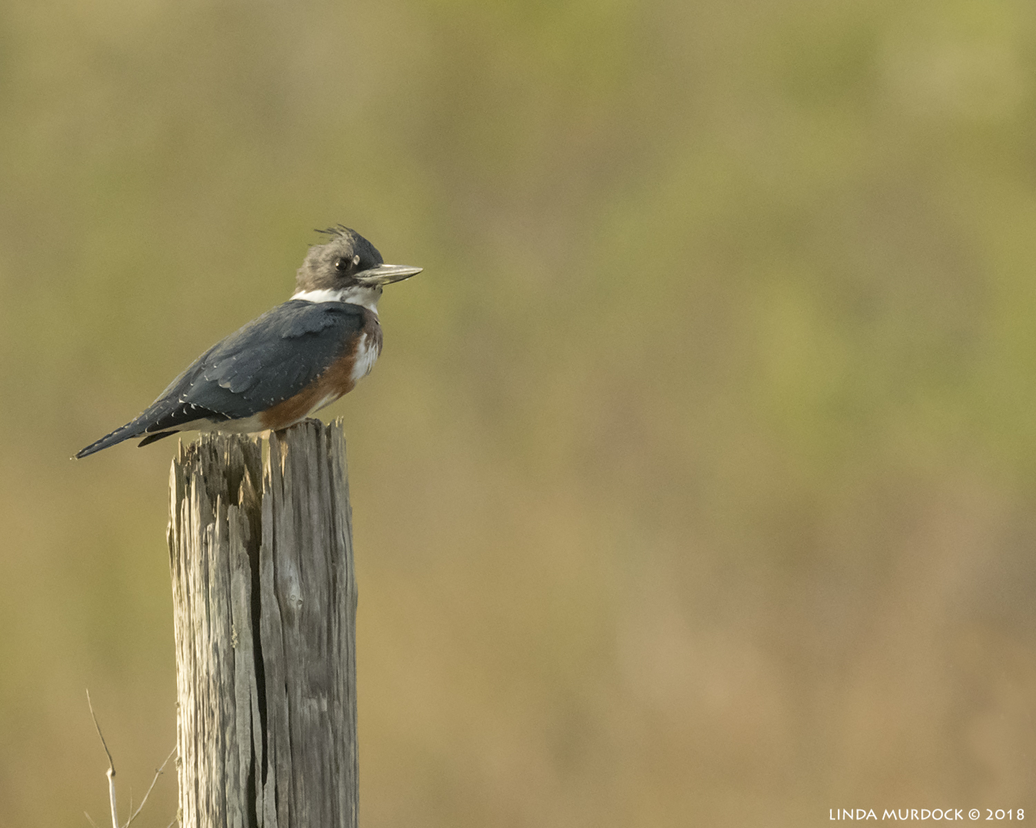 Female Belted Kingfisher resting on post lit by the late afternoon sun   Nikon D850 with NIKKOR 500mm f/4E VR with Nikon 1.4x TC ~ 1/2500 sec f/6.3 ISO 1600; braced in truck window