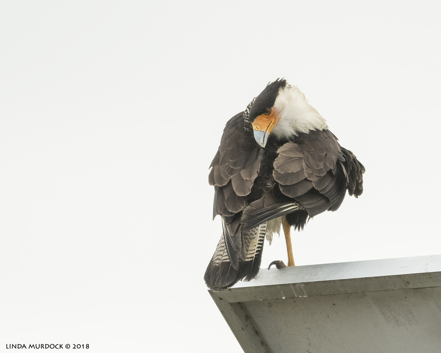 Preening  Nikon D850 with NIKKOR 500mm f/4E VR with Nikon 1.4x TC ~ 1/2500 sec f/5.6 ISO 1600; braced on truck