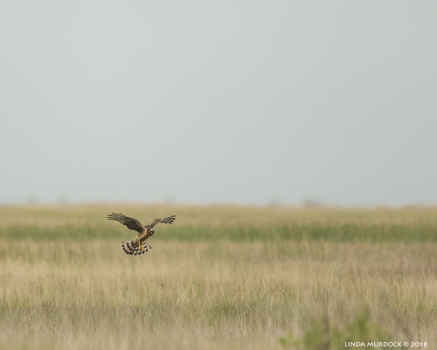 Female Northern Harrier hovering…  Nikon D850 with NIKKOR 500mm f/4E VR with Nikon 1.4x TC ~ 1/2500 sec f/6.3 ISO 1000; hand-held