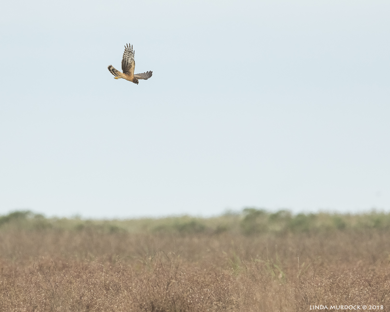 Another female Harrier  Nikon D850 with NIKKOR 500mm f/4E VR with Nikon 1.4x TC ~ 1/2500 sec f/6.3 ISO 1250; hand-held