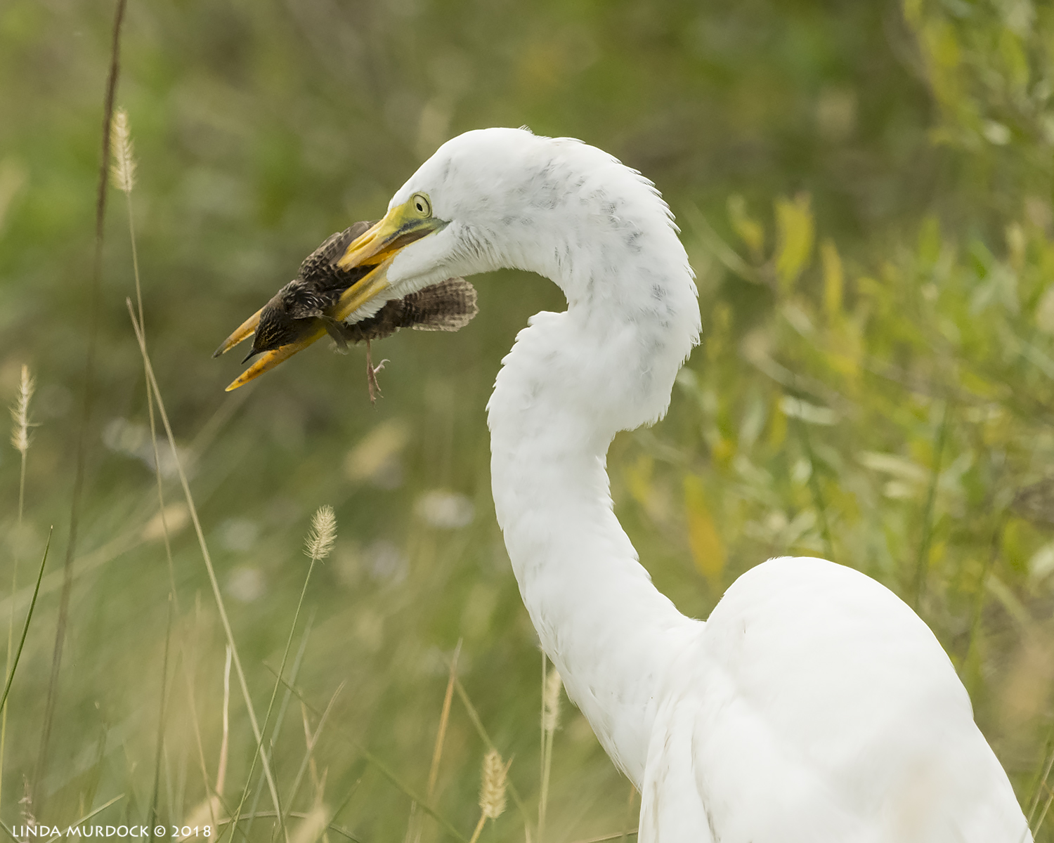 Great Egret with lunch…. Nikon D850 with NIKKOR 500mm f/4E VR ~ 1/3200 sec f/6.3 ISO 1000; hand-held