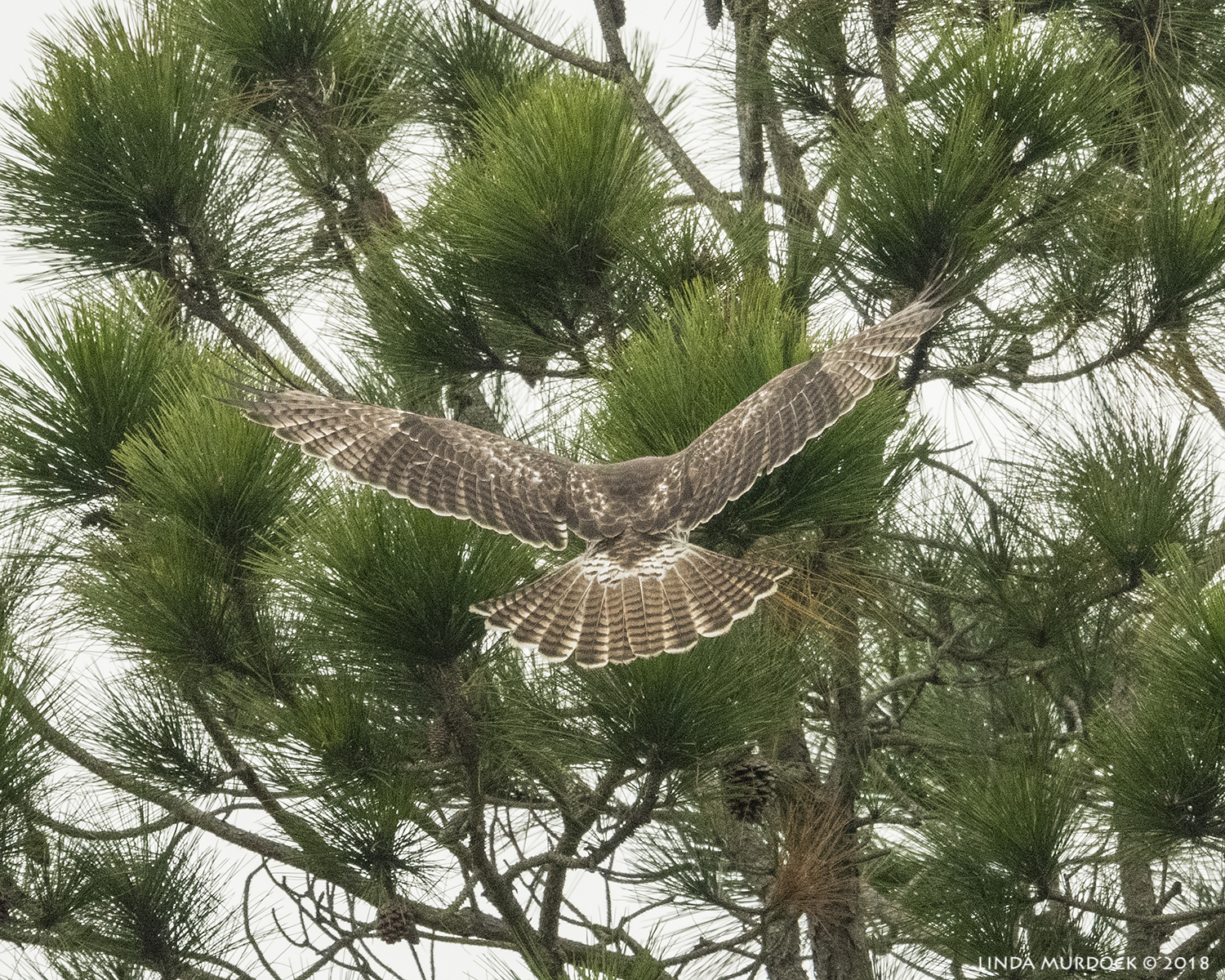 Juvenile Red-tailed Hawk heading for the pine tree    Nikon D850 with NIKKOR 500mm f/4E VR with Nikon 1.4x TC ~ 1/2000 sec f/5.6 ISO 1600; hand-held