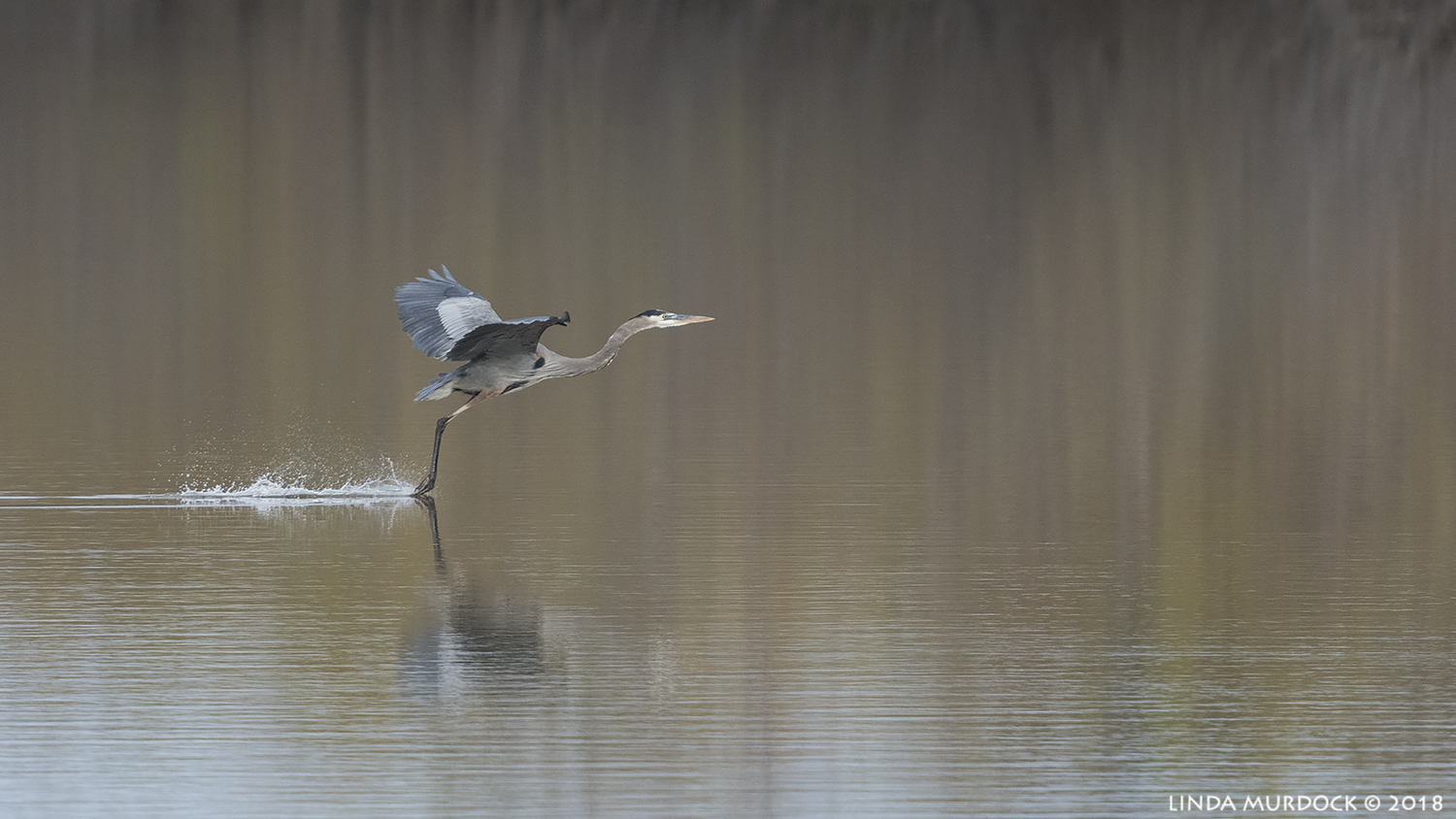 Great Blue Heron slows down crossing the lake Nikon D850 with NIKKOR 300mm f/4E PF ED VR with 1.4x TC~ 1/2000 sec f/6.3 ISO 1000; hand-held