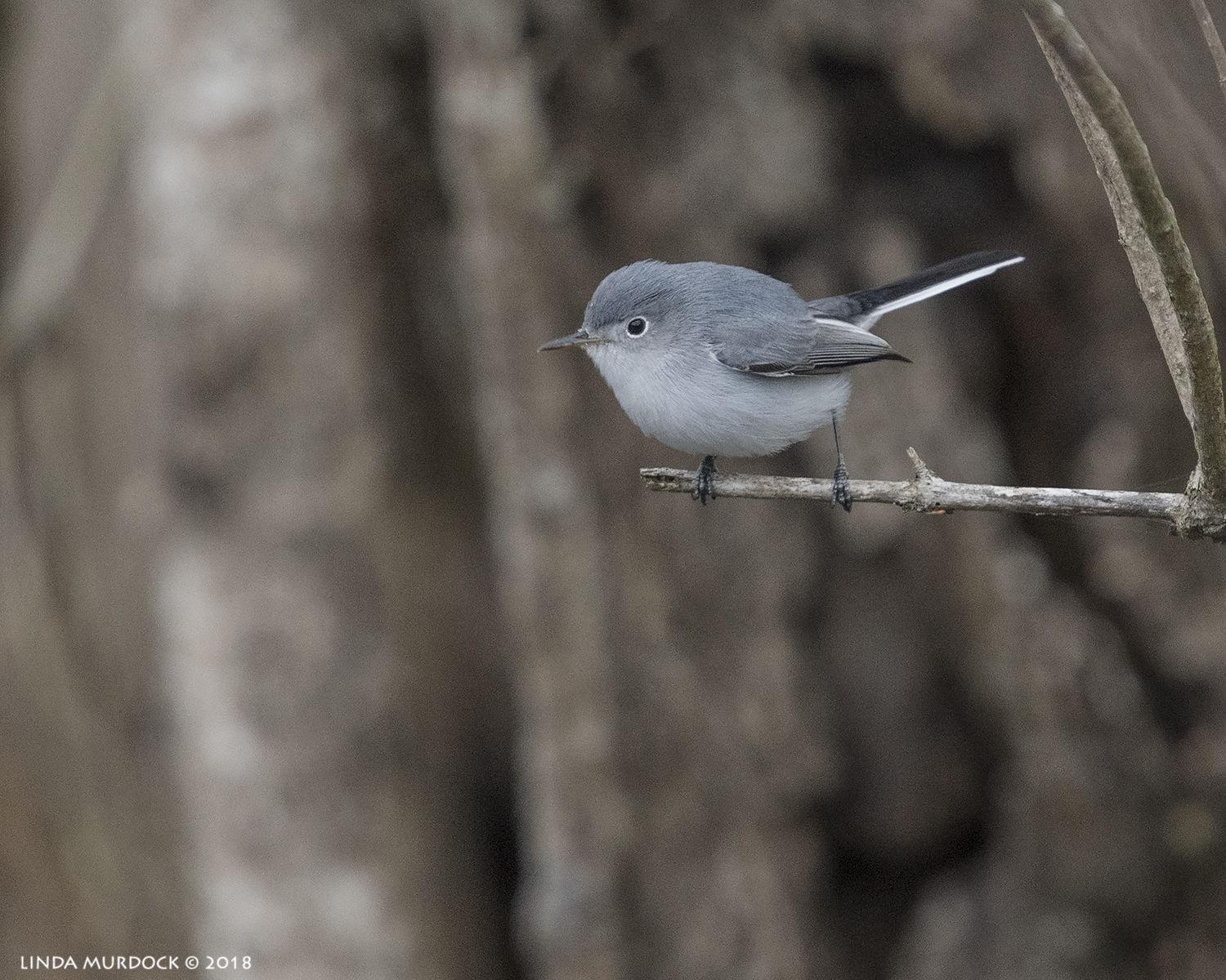 Tiny Blue-gray Gnatcatcher Nikon D850 with NIKKOR 300mm f/4E PF ED VR with 1.4x TC~ 1/2000 sec f/6.3 ISO 1000; hand-held