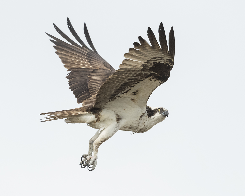 Flying Osprey on almost white boring background