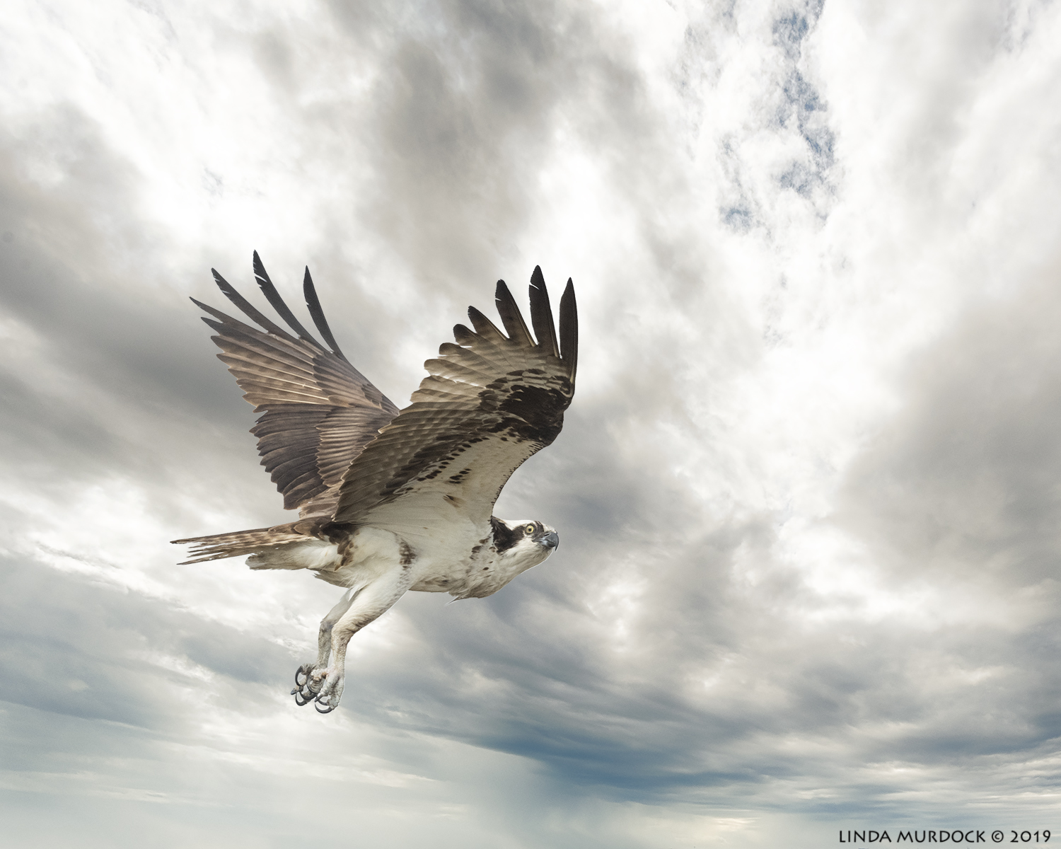 Osprey was flying against a milky white boring sky.