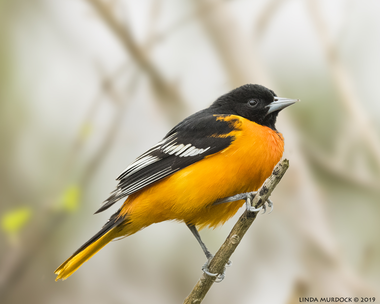 Baltimore Oriole on new blurred background