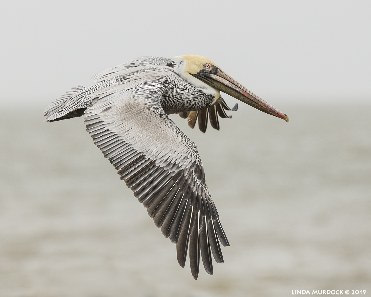 Brown Pelican fly by  Nikon D850 with Nikkor 500 f/5.6 PF VR ~ 1/2500 sec f/8.0 ISO 1000