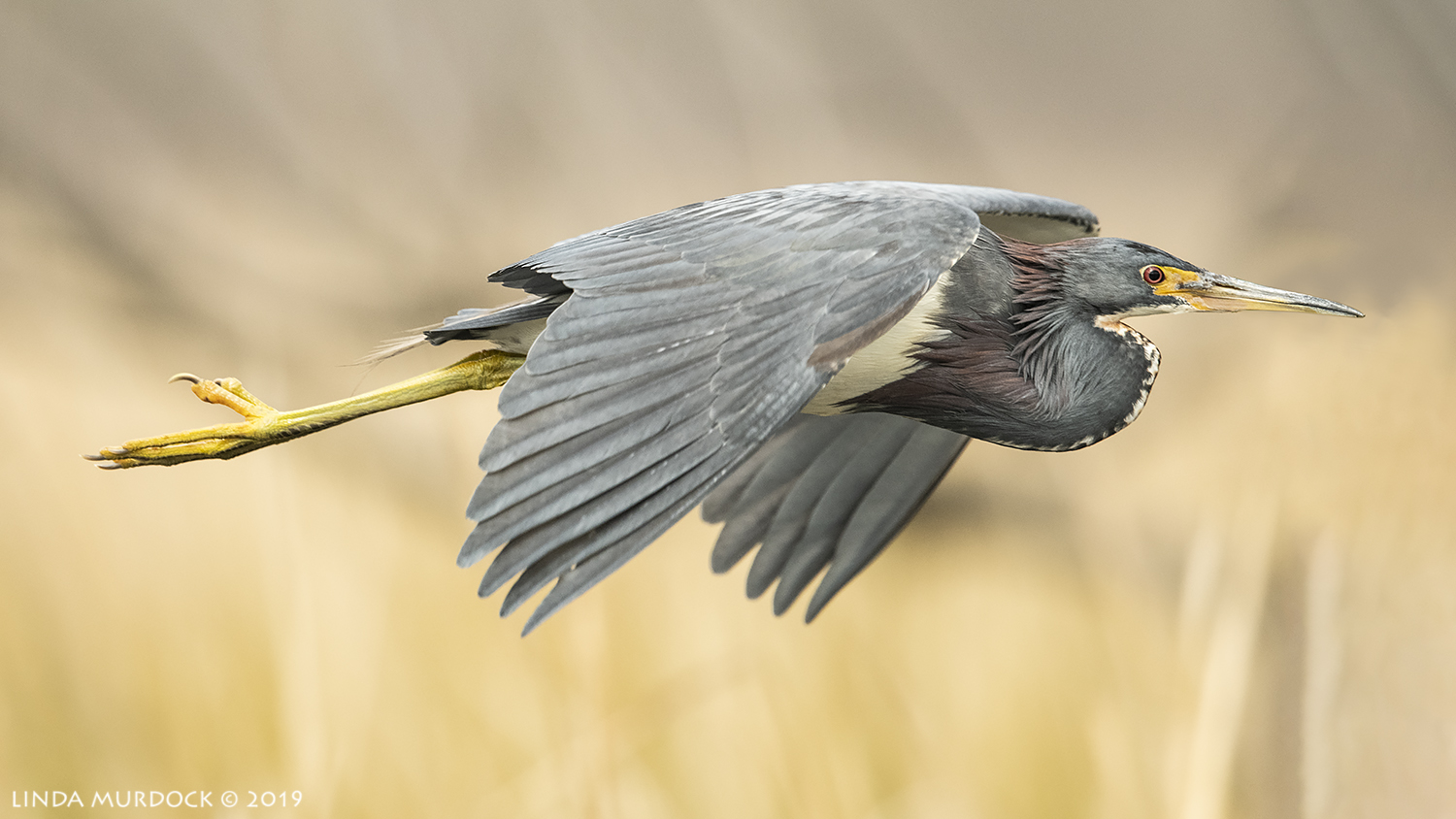 Tricolored Heron fly by Nikon D850 with Nikkor 500 f/4E VR with Nikon 1.4x TC ~ 1/2000 sec f/6.3 ISO 1600