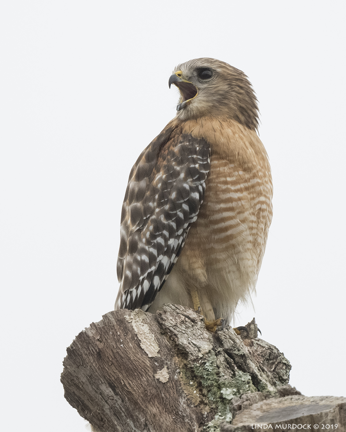 Red-shouldered Hawk calling for his mate? Nikon D850 with Nikkor 500 f/5.6 PF VR with Nikon 1.4x TC ~ 1/1600 sec f/8.0 ISO 1600; hand-held