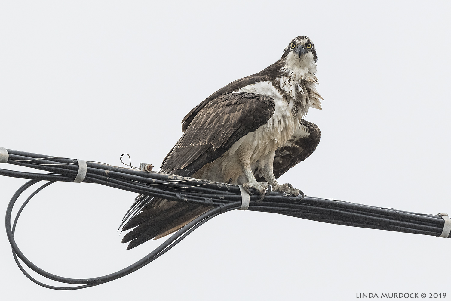 Relaxed Osprey  Nikon D850 with Nikkor 500 f/5.6 PF VR ~ 1/2000 sec f/6.3 ISO 1600; hand-held