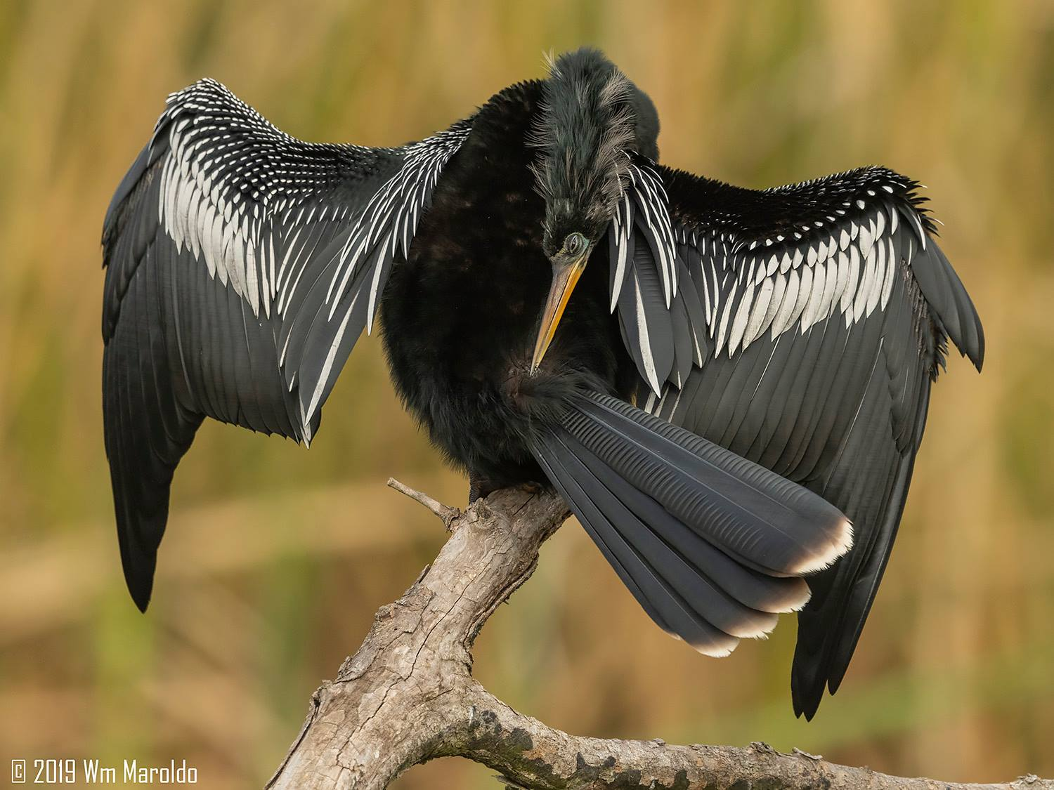 Award-winning shot of Anhinga preening by Bill Maroldo    Nikon D850 with Nikkor 500 f/4 FL VR ~ 1/2000 sec f/6.3 ISO 1250; hand-held
