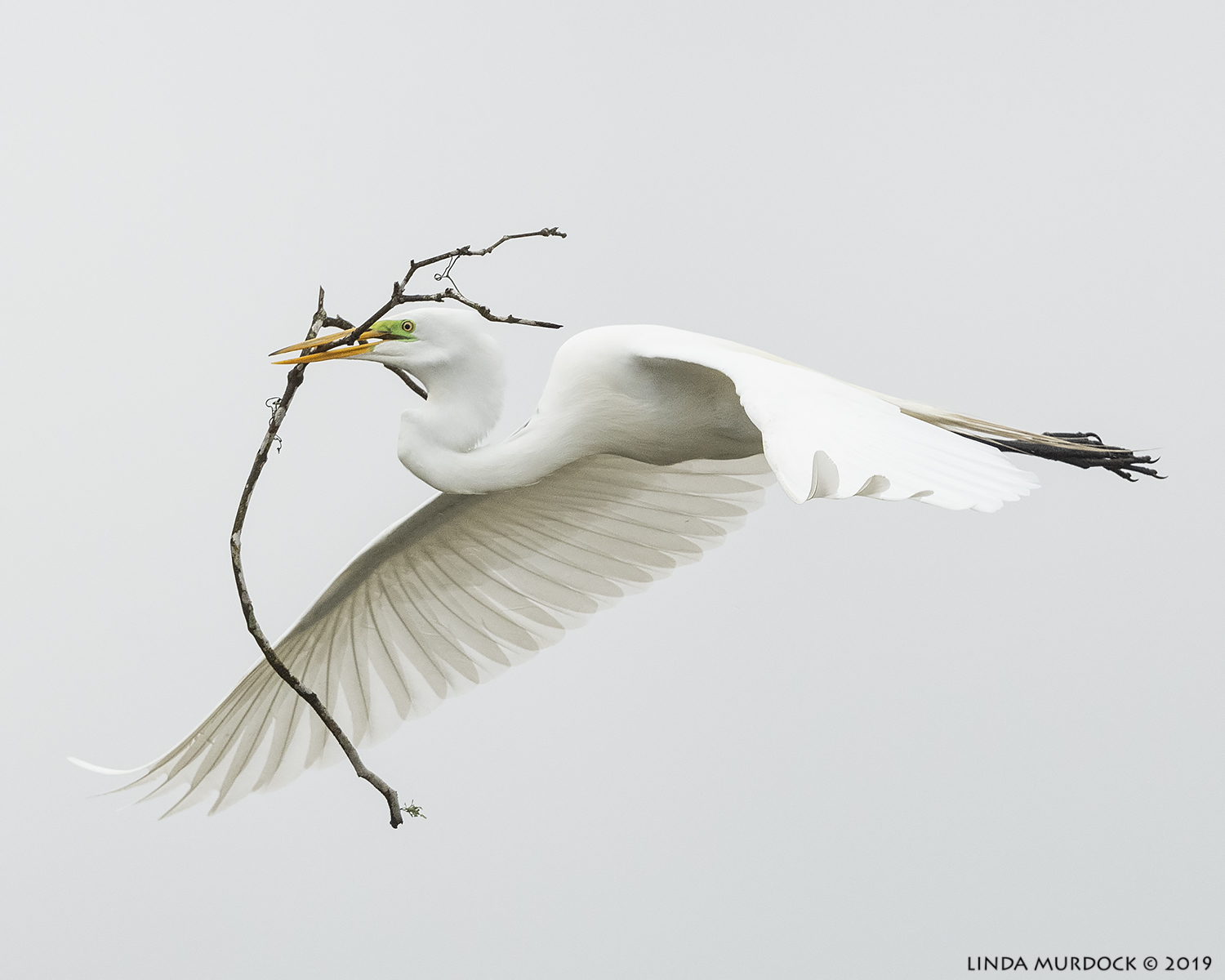Great Egret with stick for his honey  Nikon D850 with Nikkor 500 f/5.6 PF VR ~ 1/2000 sec f/6.3 ISO 1600; hand-held