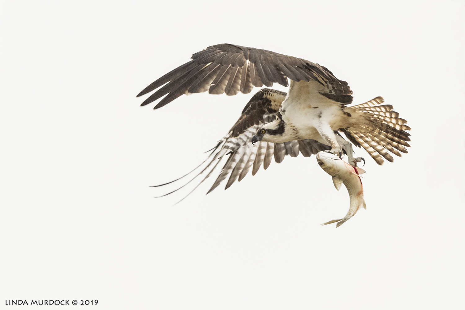 Osprey and BIG fish.  Nikon D850 with Nikkor 500 f/5.6 PF VR ~ 1/2000 sec f/6.3 ISO 1000; hand-held