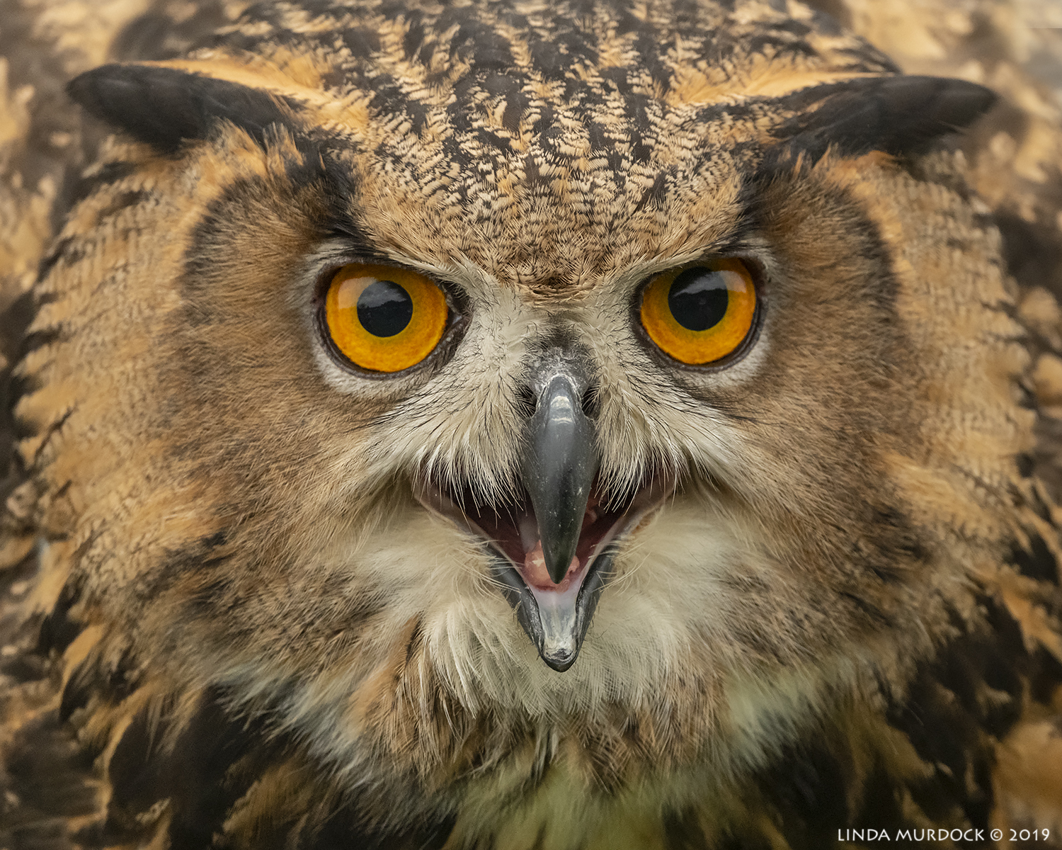 Eurasian Eagle-owl up really close Nikon D850 with Nikkor 500 f/5.6 PF VR ~ 1/2000 sec f/6.3 ISO 2000