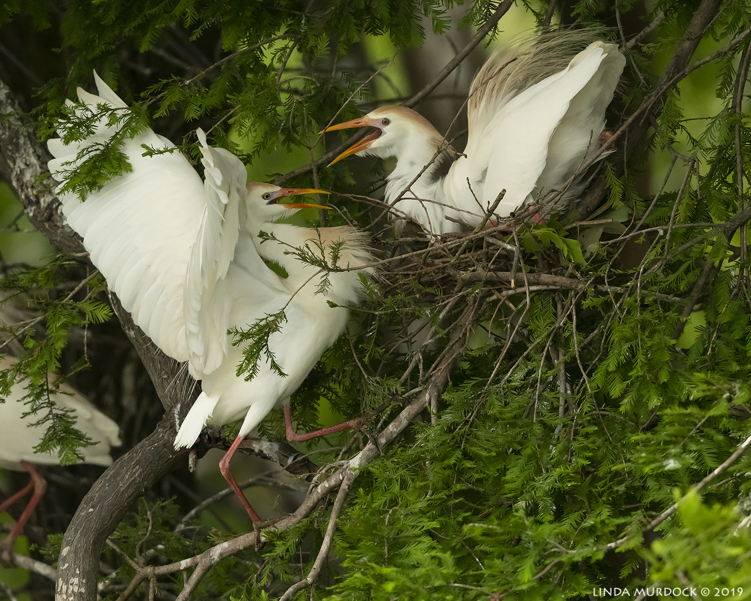 Cattle Egret greeting at the nest…  Nikon D850 with Nikkor 500 f/5.6 PF VR ~ 1/1600 sec f/6.3 ISO 2000