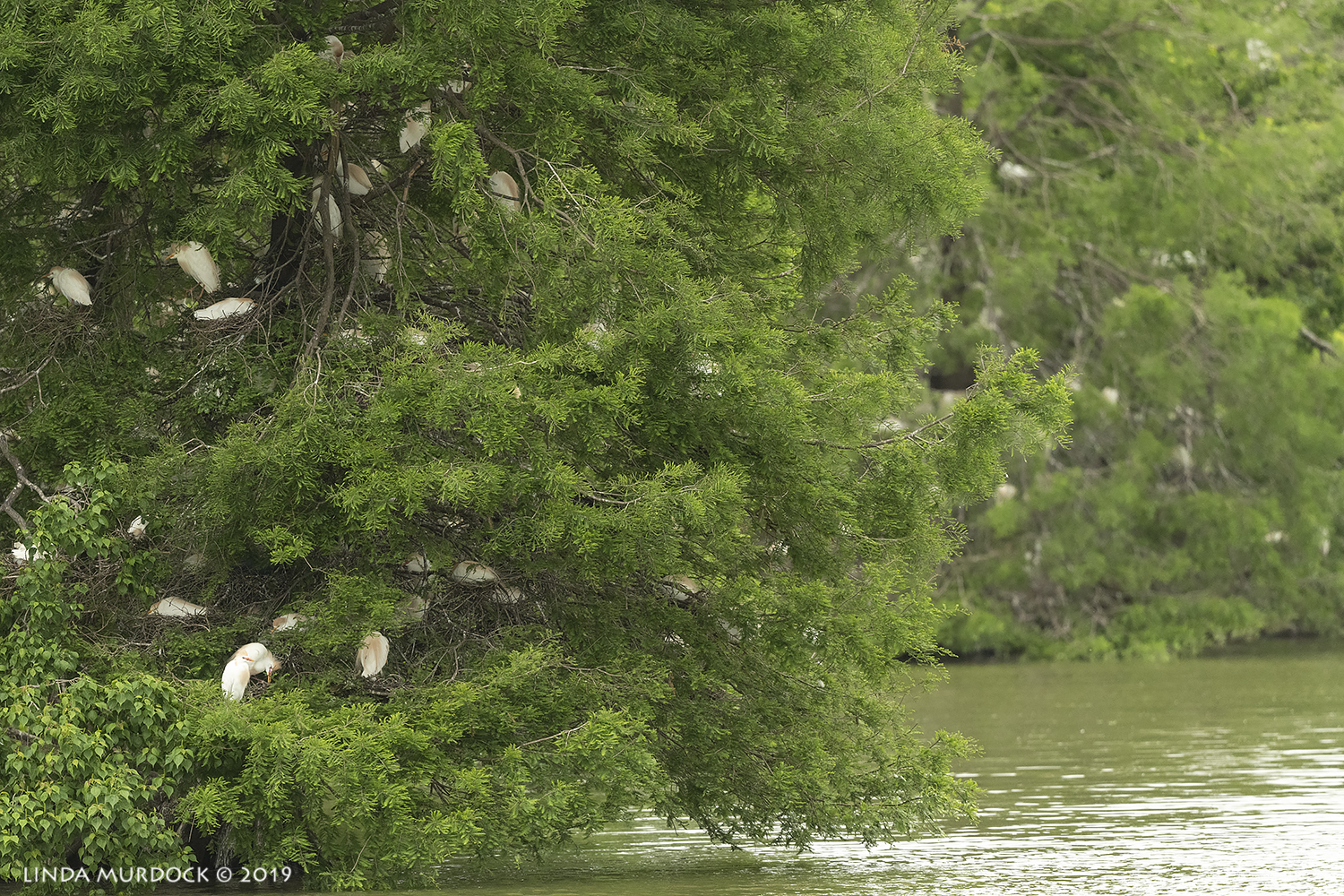 View of the trees on the island with nesting Cattle Egrets Nikon D850 with Nikkor 500 f/5.6 PF VR ~ 1/2000 sec f/5.6 ISO 1600