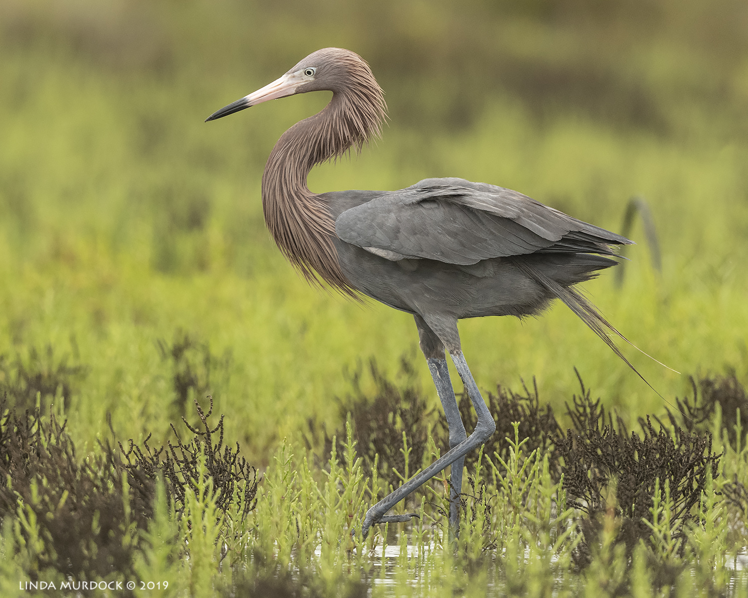 Tall and stately Reddish Egret pretending to be just another egret… Nikon D850 with Nikkor 500 f/5.6 PF VR ~ 1/2000 sec f/5.6 ISO 1000