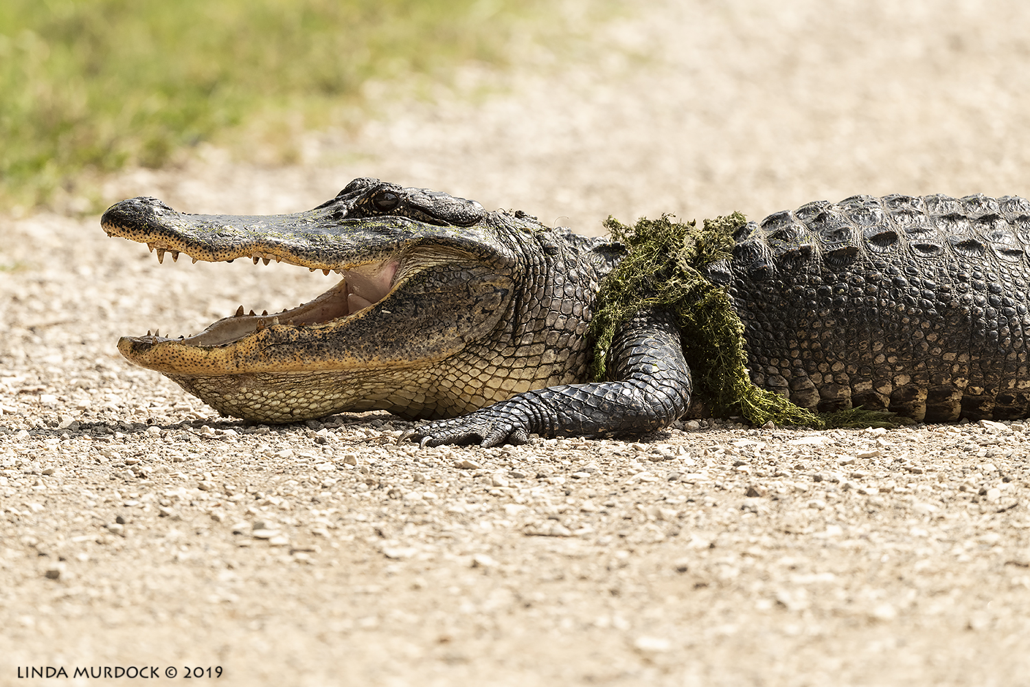 Happy alligator smiling at me?  Nikon D850 with Nikkor 500 f/5.6 PF VR ~ 1/2000 sec f/6.3 ISO 800