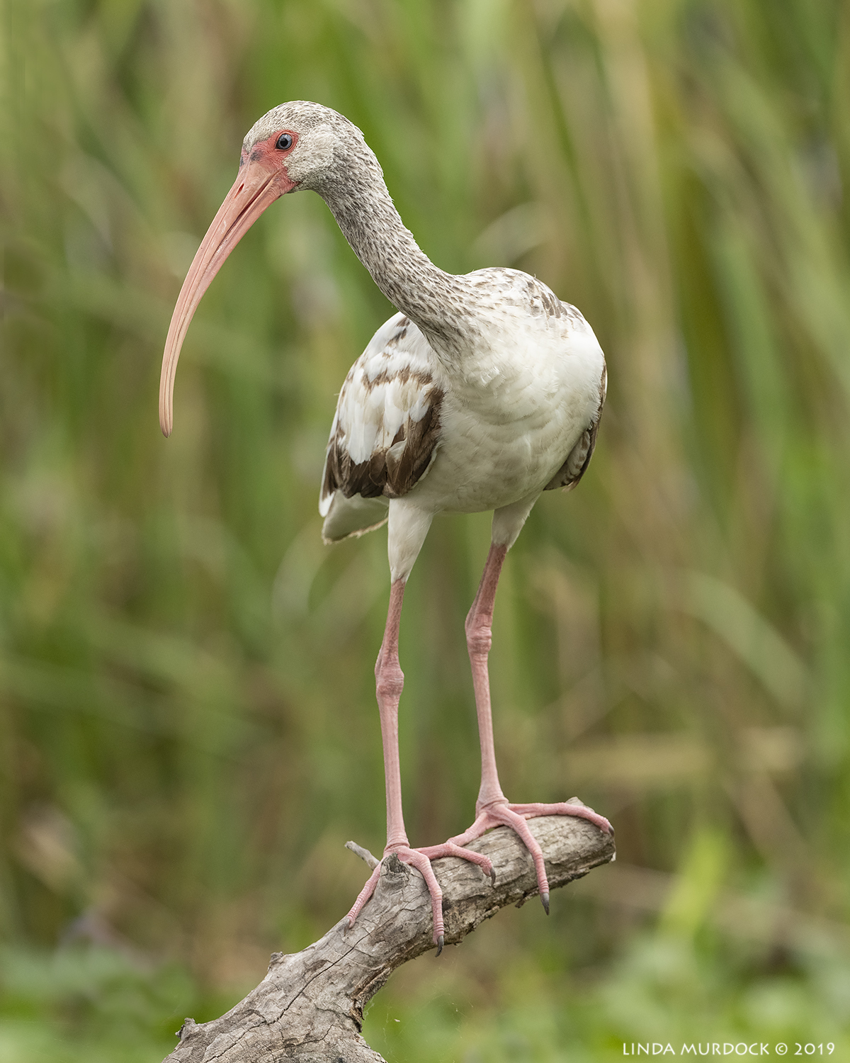 Young White Ibis showing off  Nikon D850 with Nikkor 500 f/5.6 PF VR ~ 1/1600 sec f/7.1 ISO 1000