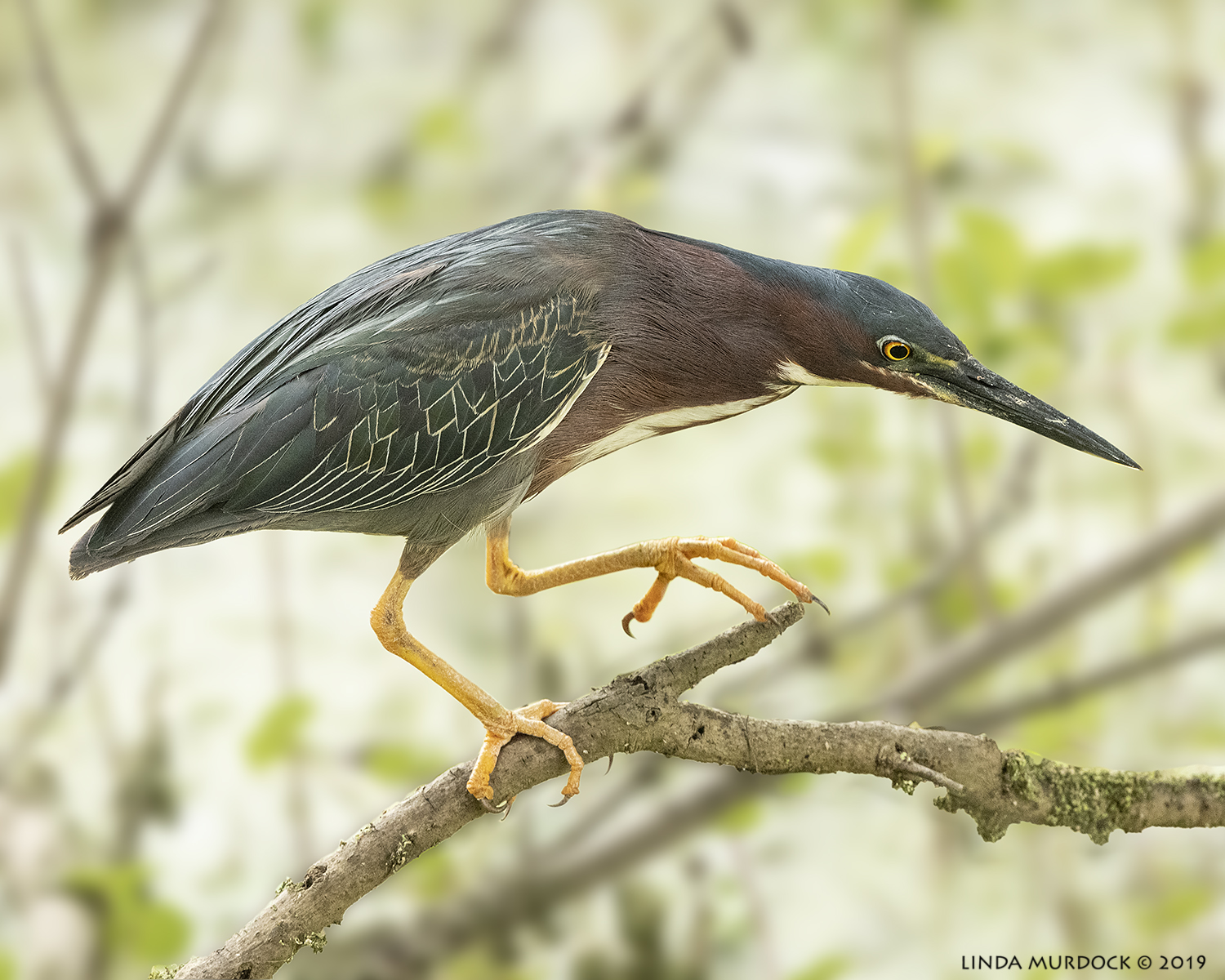Green Heron getting low to stalk  Nikon D850 with Nikkor 500 f/5.6 PF VR ~ 1/1000 sec f/6.3 ISO 3200