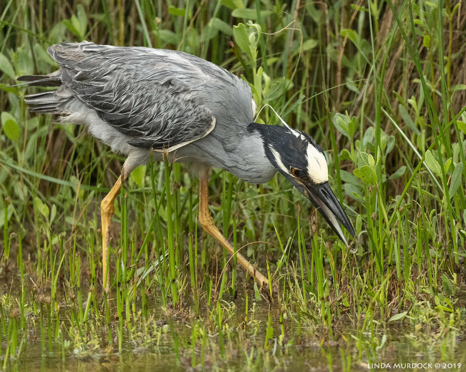 Yellow-crowned Night Heron in the ditch Nikon D850 with Nikkor 500 f/5.6 PF VR ~ 1/1250 sec f/5.6 ISO 2000