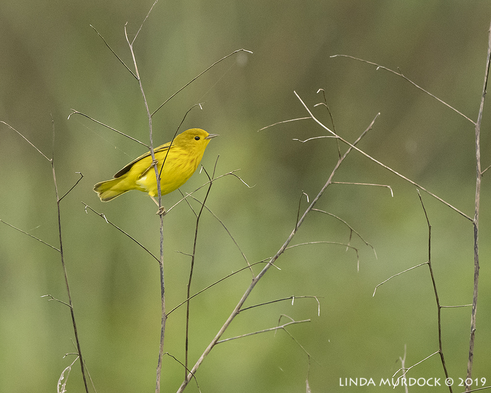 Yellow Warbler in the distance    Nikon D850 with Nikkor 500 f/5.6 PF VR ~ 1/1600 sec f/5.6 ISO 1600