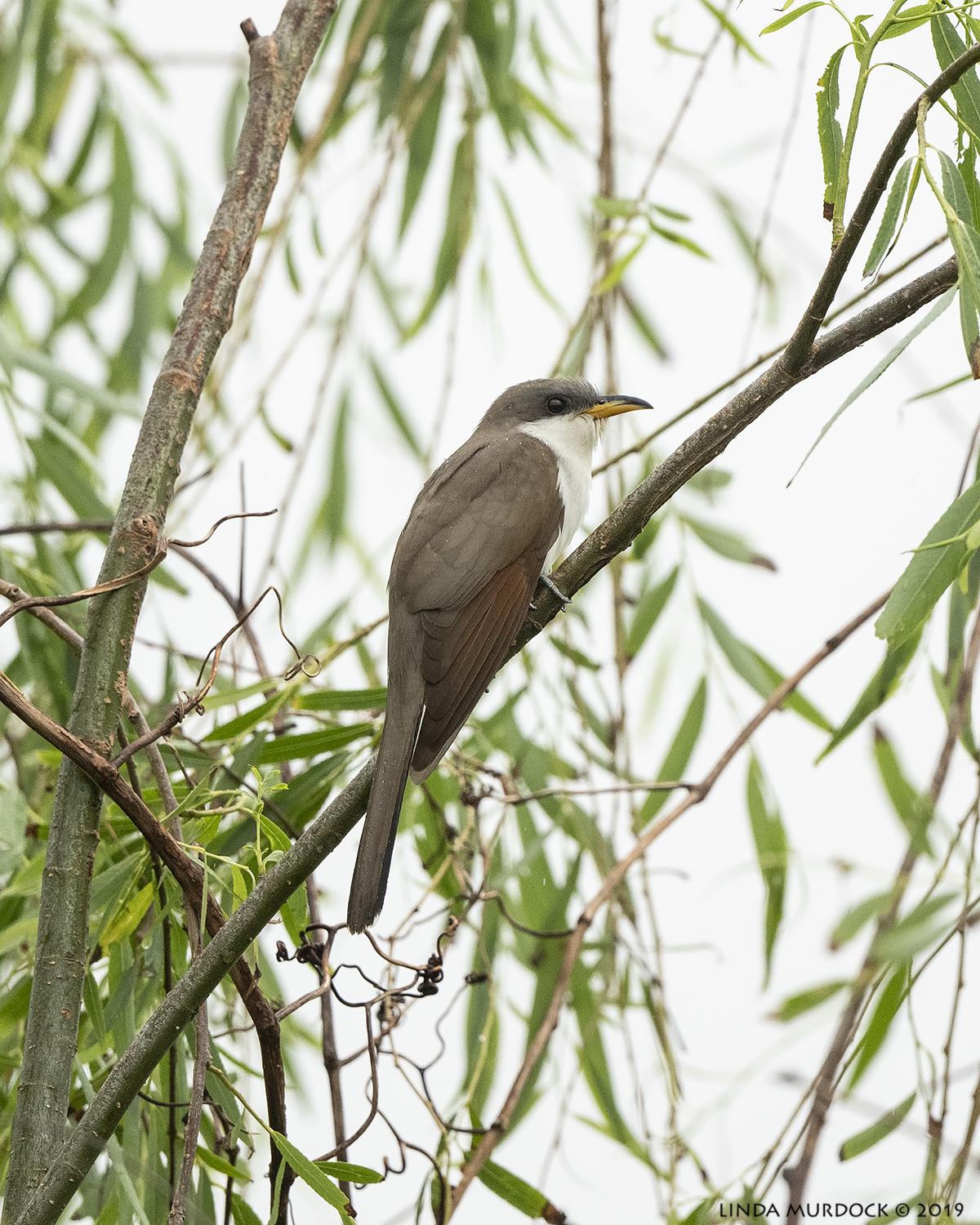 Yellow-billed Cuckoo in the light rain    Nikon D850 with Nikkor 500 f/5.6 PF VR ~ 1/1600 sec f/5.6 ISO 1600
