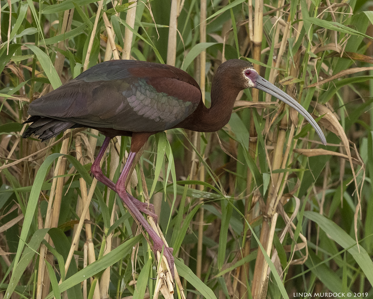 Lovely White-faced Ibis posing for you Nikon D850 with Nikkor 500 f/5.6 PF VR ~ 1/2500 sec f/6.3 ISO 1250