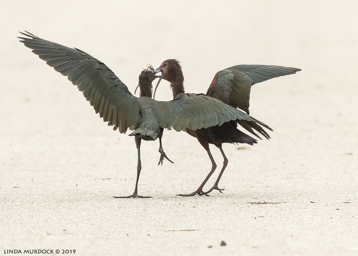 White-faced Ibis adult feeding youngster. Old habits are hard to break Nikon D850 with Nikkor 500 f/5.6 PF VR ~ 1/2500 sec f/6.3 ISO 800